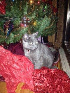 cat treated with Banixx