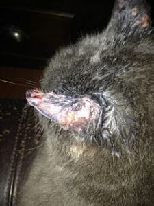 cat ear and skin infection
