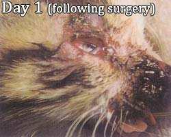 kitten facial injury