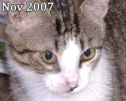 cat facial injury treated with Banixx