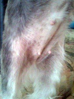 dog skin yeast infection