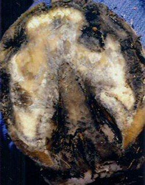 Horse Hoof Abscess treatment
