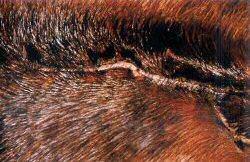 horse laceration treated with Banixx
