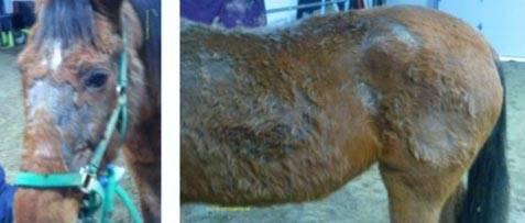 Rain Rot in Horses