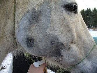 Horse Abscess & Infection after Banixx