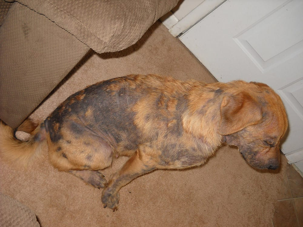 how do i get rid of and treat my dogs mange or mange in dogs