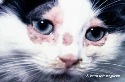 Pictures Of Ringworm On Cats Nose