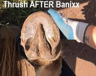horse thrush treated with Banixx