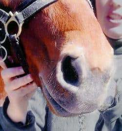 Horse with deep laceration to nostril - AFTER Banixx