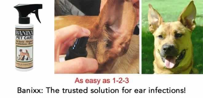 Dog Ear Infection Treatment Remedy For Ear Infections In Dogs Banixx