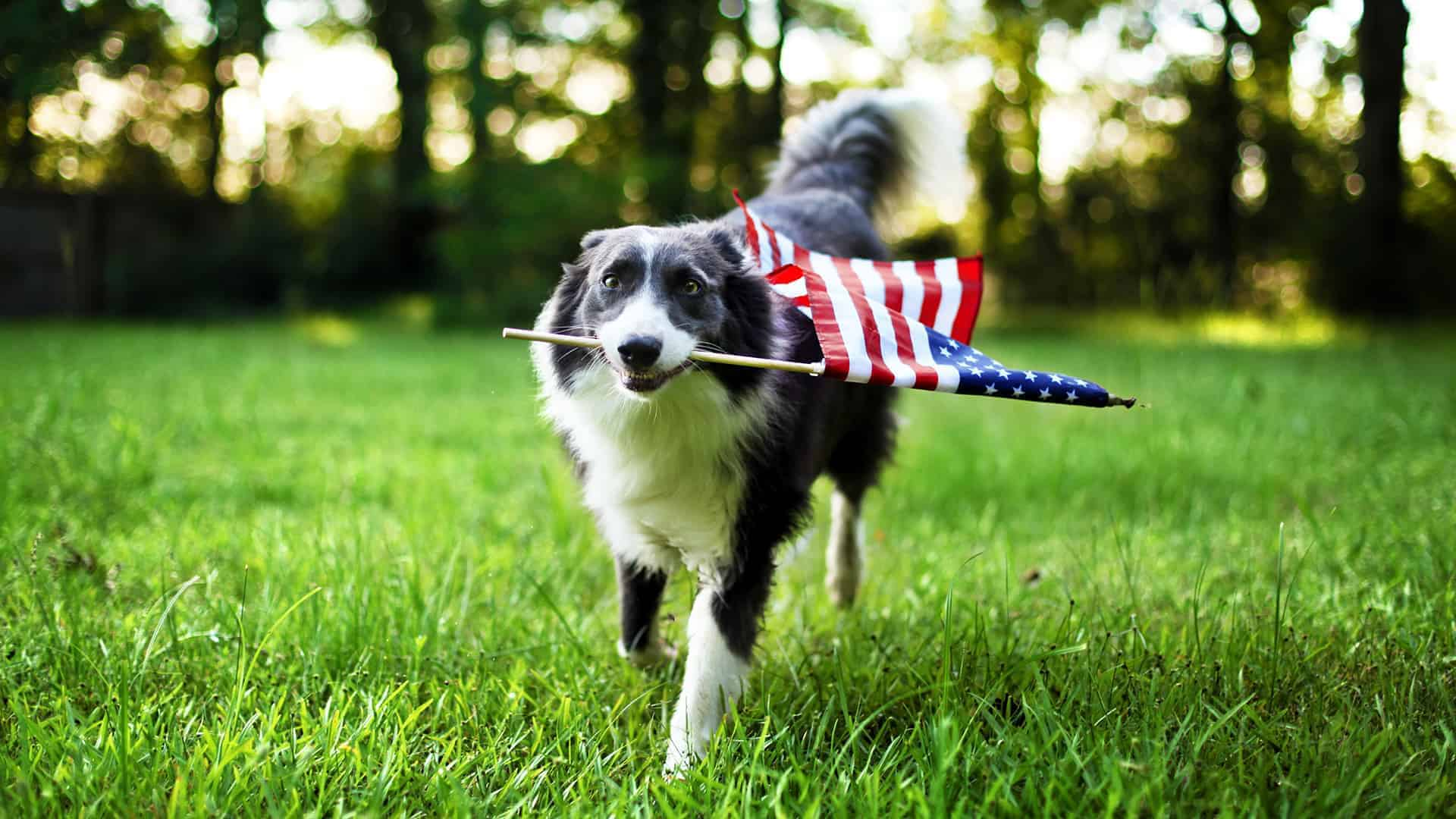 Happy Dog Running With Flag
