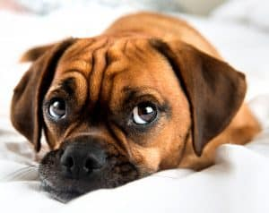 face fold/ wrinkle infections in dogs