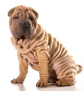 wrinkle infections in dogs