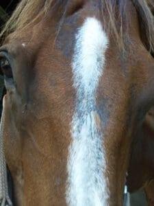 horse fungus