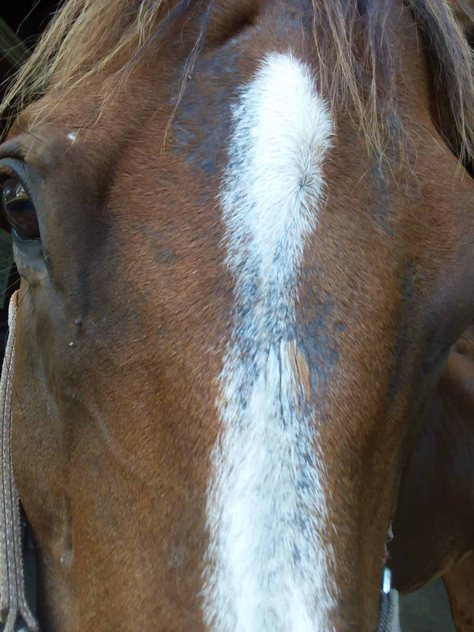 horse fungus on face