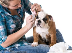 best dog ear cleaner solution from Banixx being used on a puppy