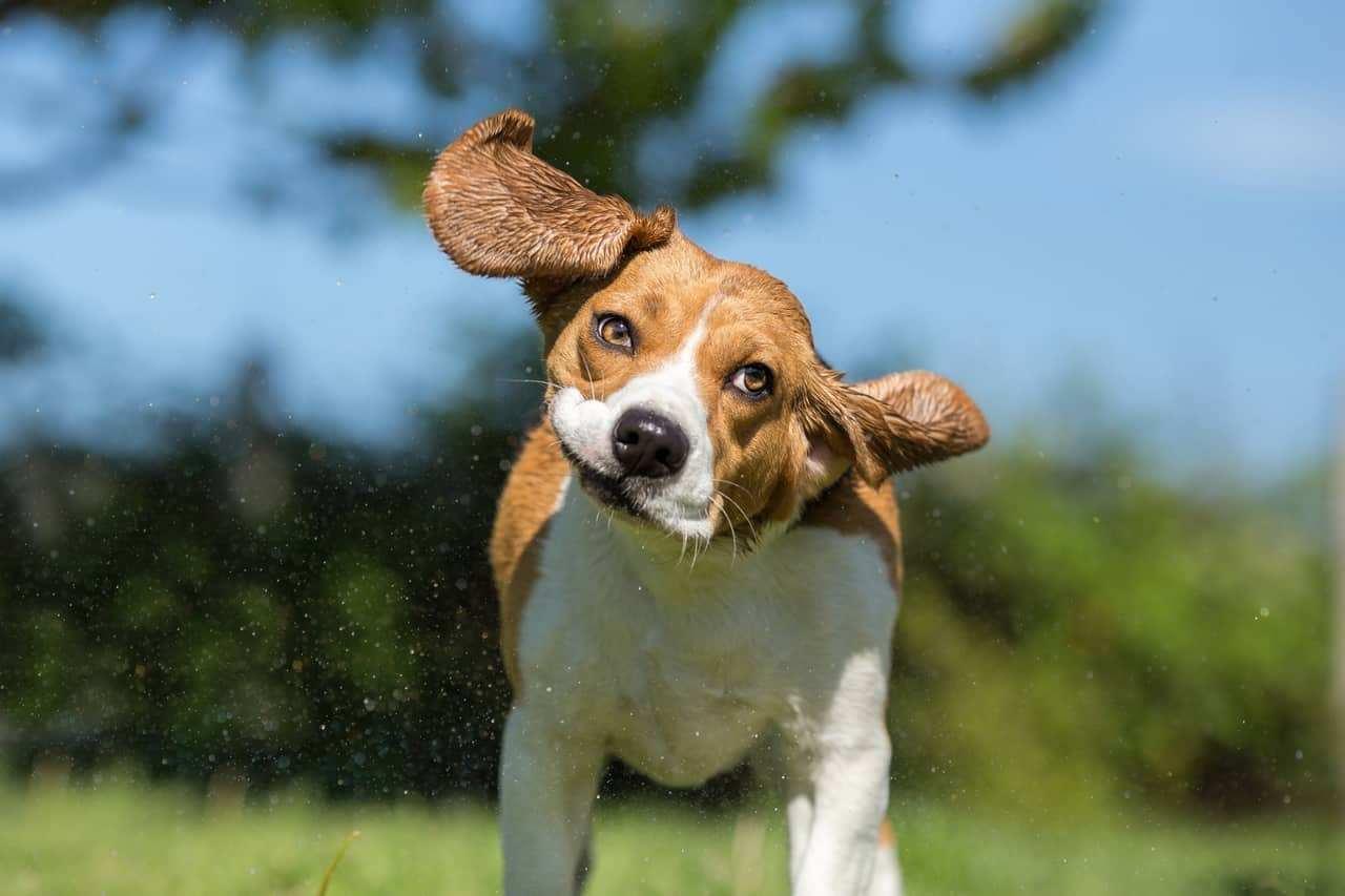 Dog Ear Mites Vs Yeast Infection Bani