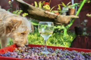 grapes are poisonous to dogs