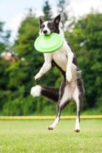 dog catching frisbee to keep hot spots at bay