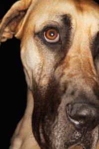 Dog With Pink Eye