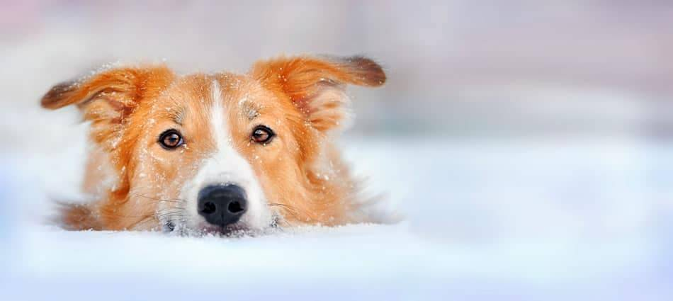 dog eye discharge in the snow