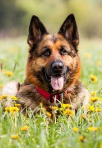 Erect dog ears