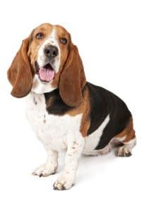 folded ears on a dog