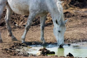 horse drinking dirty water