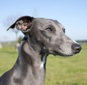 Rose dog ears