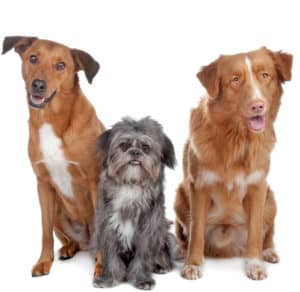 mixed breed dogs