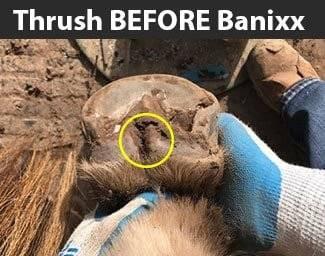 horse thrush