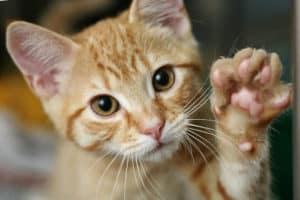 using apple cider vinegar for cat ear infections