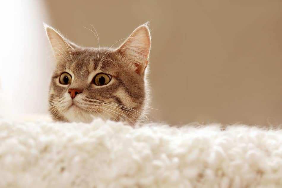Cat Ear Mites Vs Ear Wax Banixx