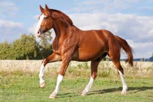 sorrel horse running