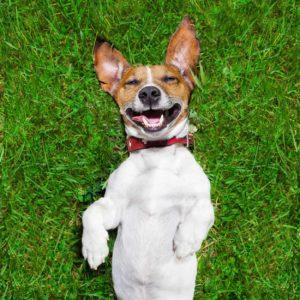 happy dog on cbd oil