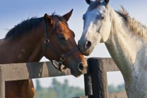 horses cribbing