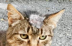 ringworm on cat head