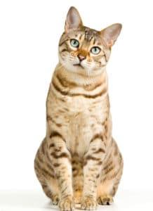ringworm on cat ear