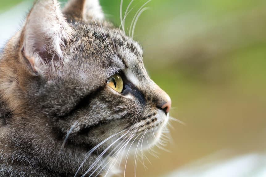 cat ear hematoma