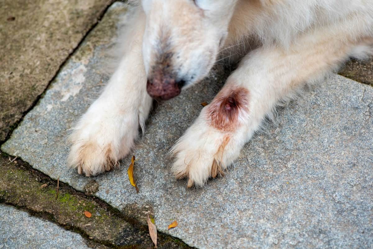hot spot on a dogs paw