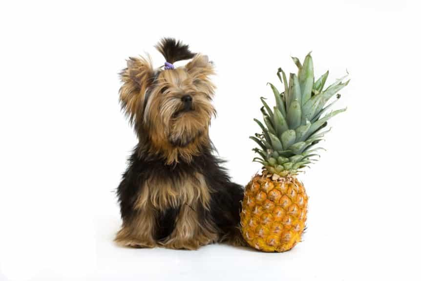 dog pineapple