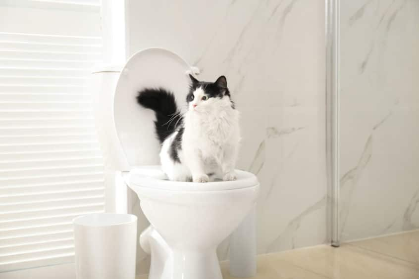cat peeing toilet