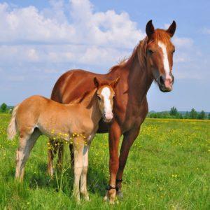 standing horses