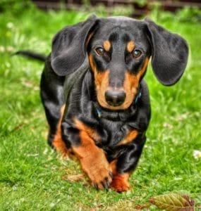 seborrhea in dogs