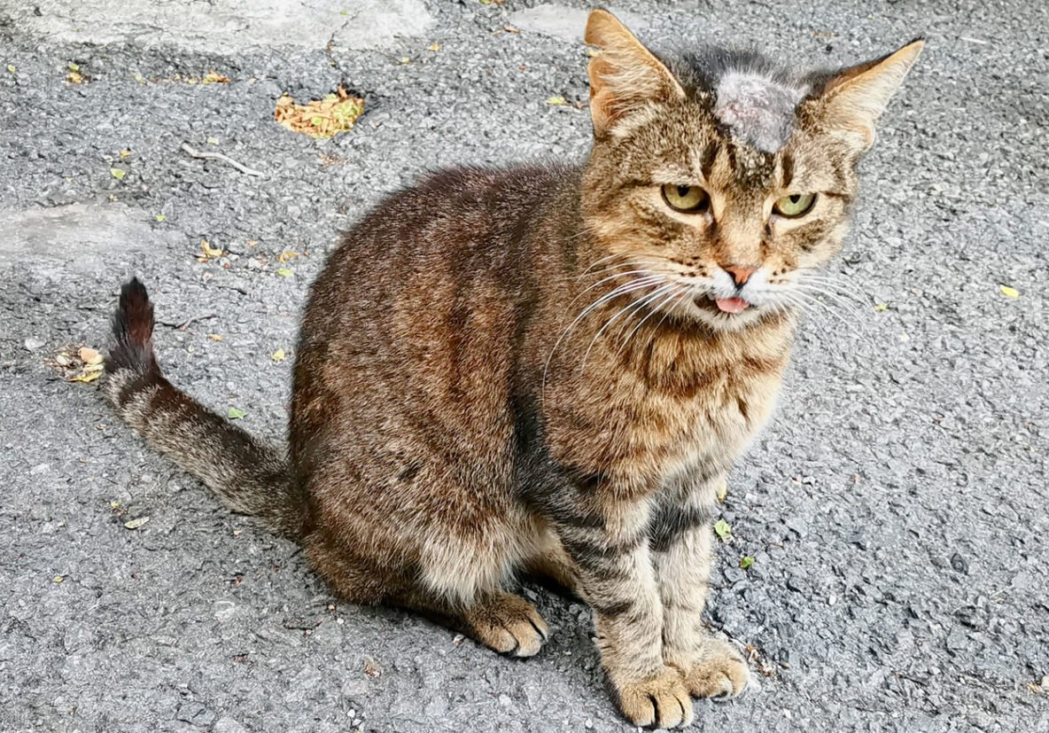 cat with ringworm