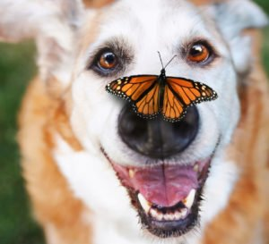 senior dog butterfly