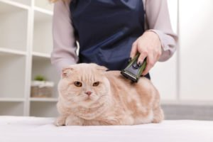 shave cat with ringworm