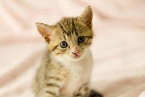 toyger cat cute