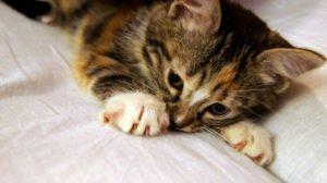 toyger kitten playing