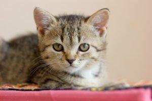toyger kitty cat